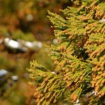 花粉の杉の木